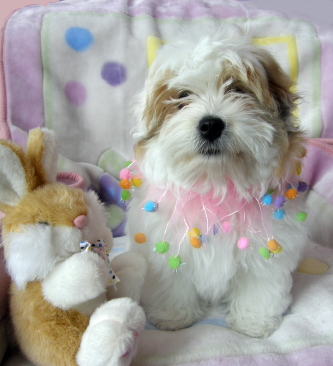 Coton de Tulear says no to AKC