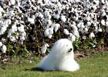 Coton de Tulear in field of cotton