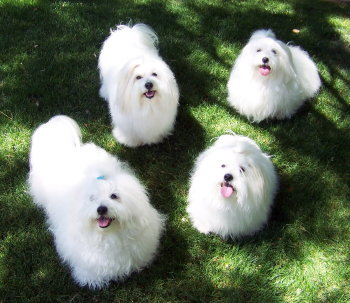 group of Coton dogs