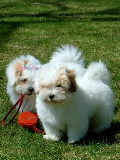photo of Coton puppies