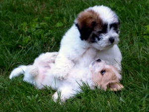 Coton puppies playing Lim Luippold breeder of excellence